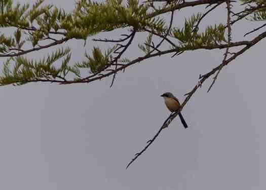 Long-tailed Shrike in the Nilgiris