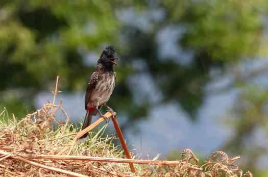 Red-vented Bulbul in the Nilgiris