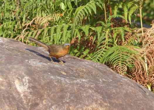 Rufous Babbler in the Nilgiris