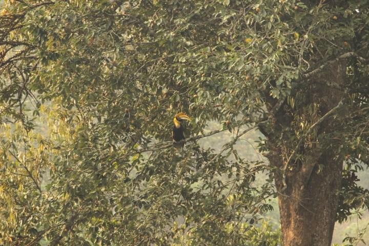 The habitat in Valparai is conducive for Great Indian Hornbills