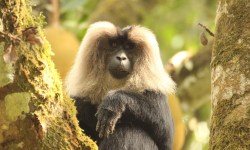 Lion-tailed Macaque in Valparai