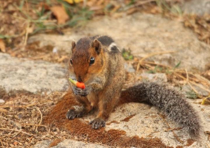 Jungle Striped Squirrel in Valparai