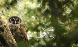 Brown Wood Owl in Pangot