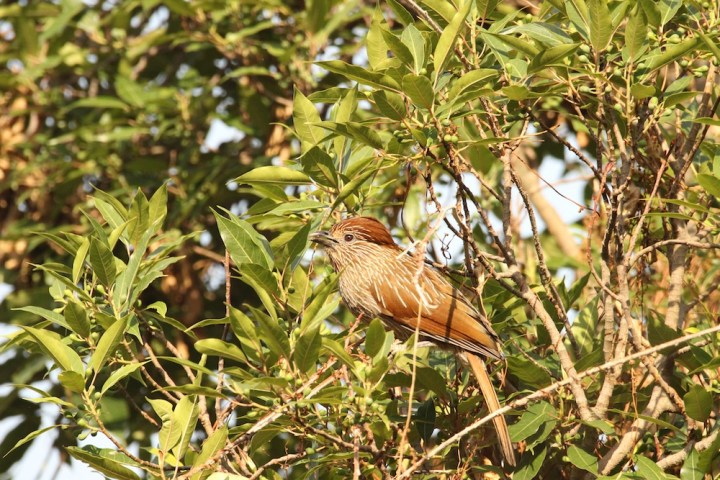 A Striated Laughingthrush in Pangot