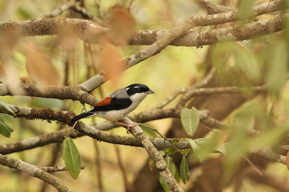 Is that a shrike or a babbler? It's a White-browed Shrike-Babbler!