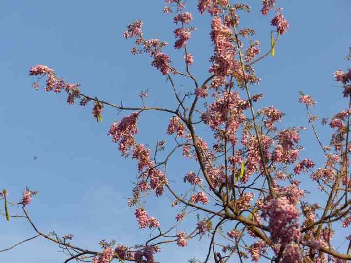 Flowering Gliricidia in Horsley Hills