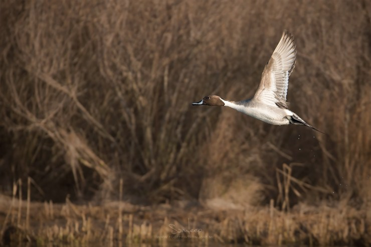 Northern Pintail takes flight