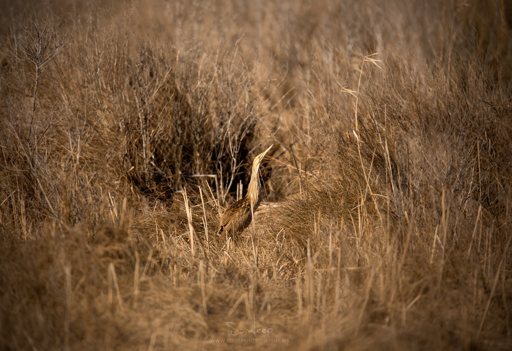 Master of camouflage, American Bittern