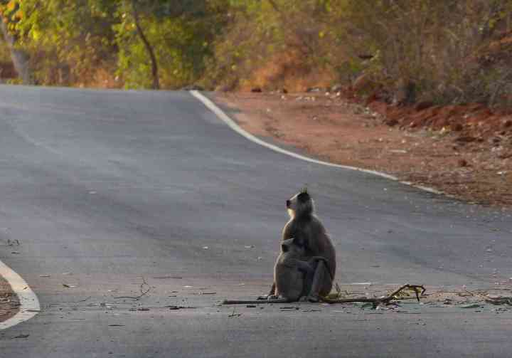 Tufted Gray Langur in Horsley HIlls