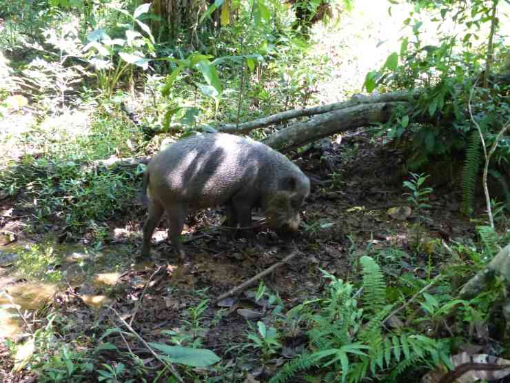 Bornean Bearded Pig in Bako National Park, home of the Colugo