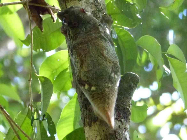 Colugo in Bako National Park, Sarawak, East Malaysia