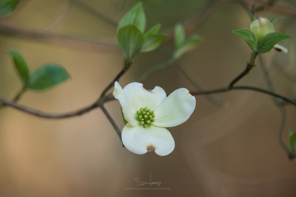 A dogwood flower portrait
