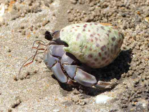 A hermit crab on the beach at Bako National Park
