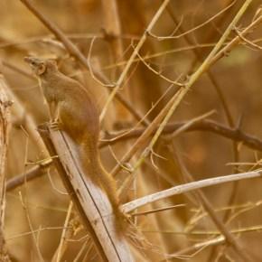 Tadoba Diaries – Taming the Tree Shrew, third time lucky
