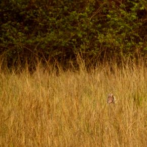 Tadoba Diaries – At Telia, the tiger's yawn gave it away
