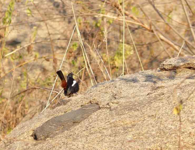 Indian Robin male displaying