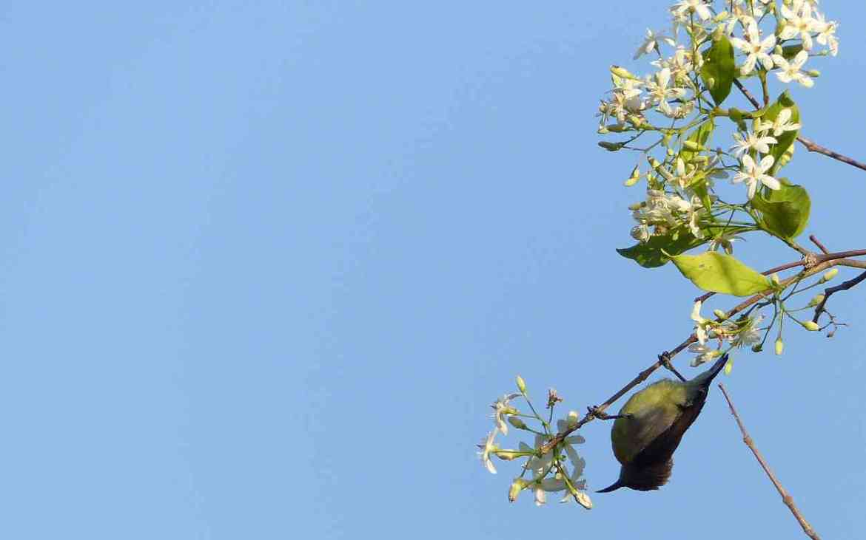 Manchanabele - Sunbirds