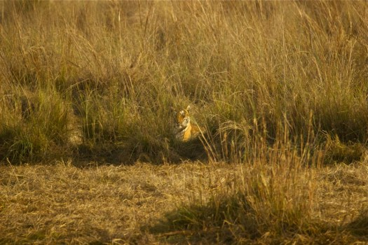 Choti Tara makes a brief appearance at Jamni grassland in Tadoba