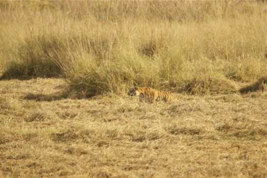 Choti Tara Tiger Mother cub at Tadoba