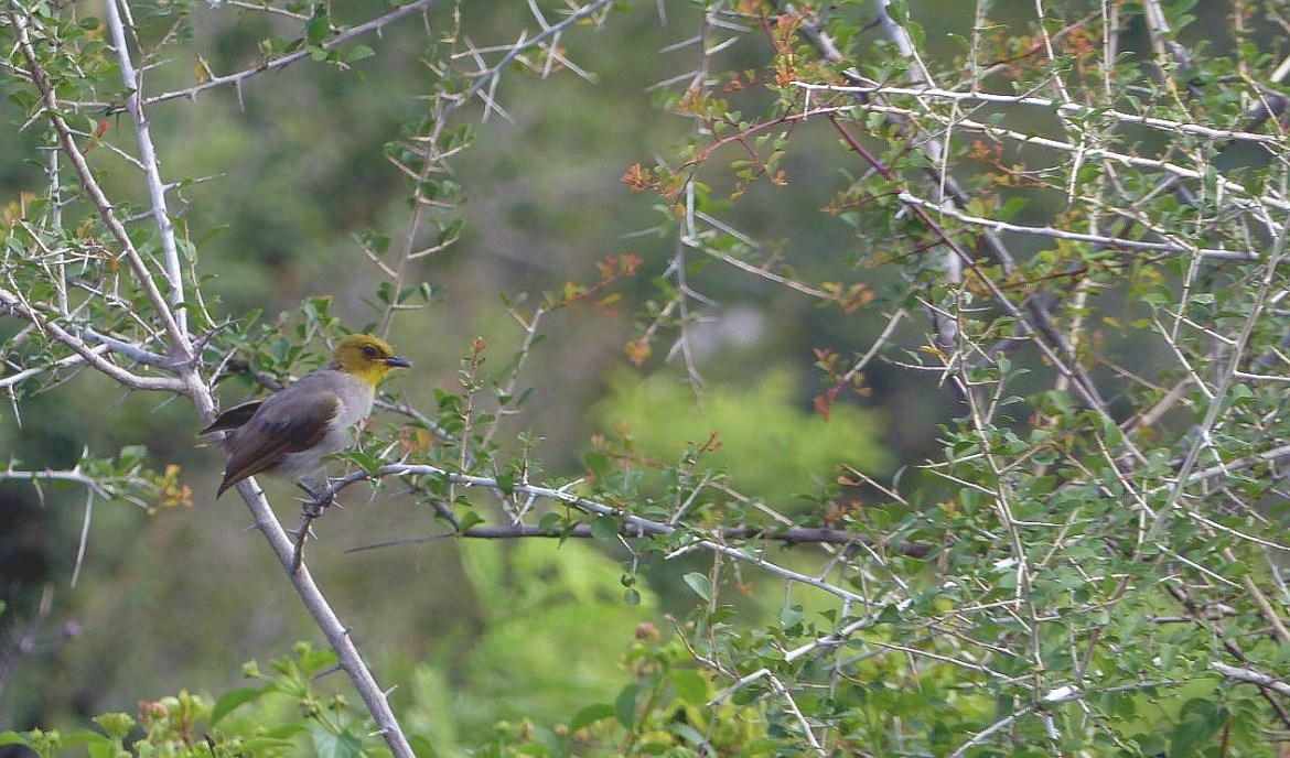 Yellow-throated Bulbul at Rishi Valley