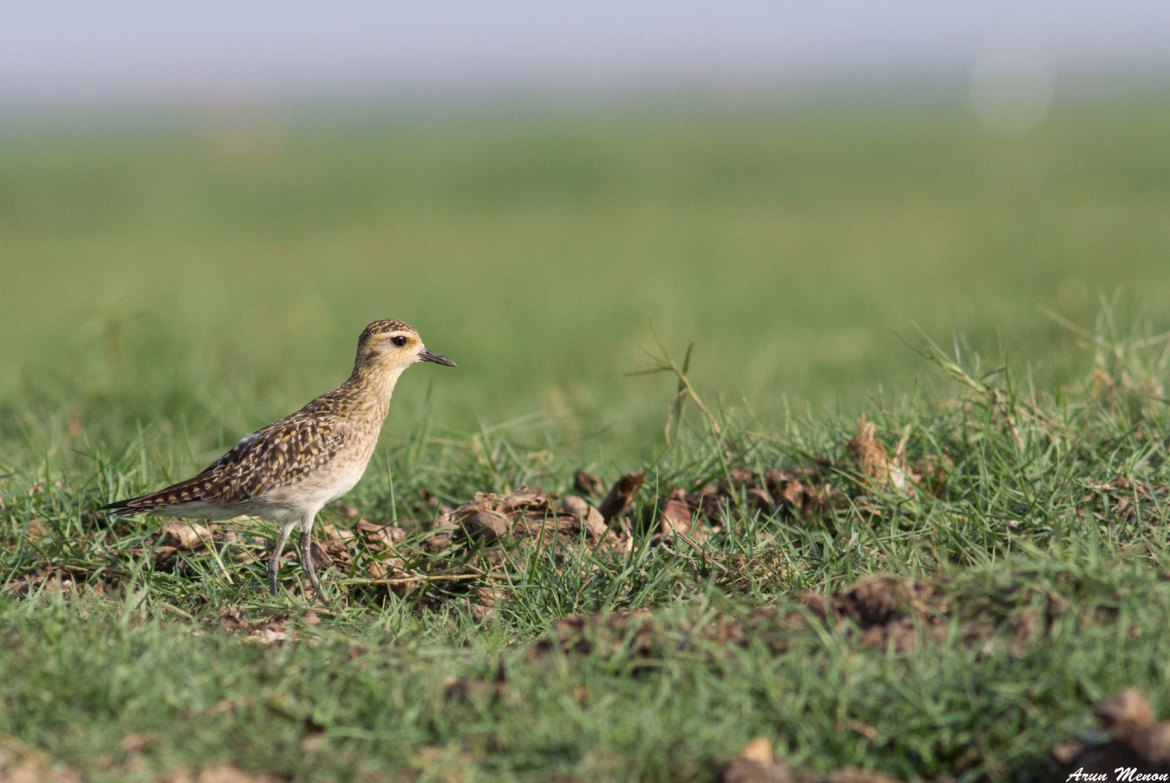 Pacific Golden-Plover at Mangalajodi