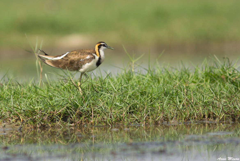 Pheasant-tailed Jacana at Mangalajodi