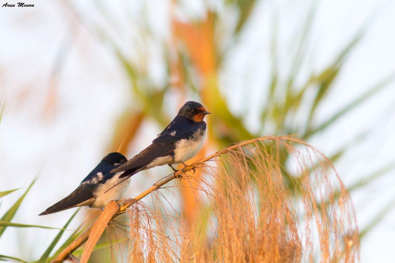Barn Swallows at Mangalajodi