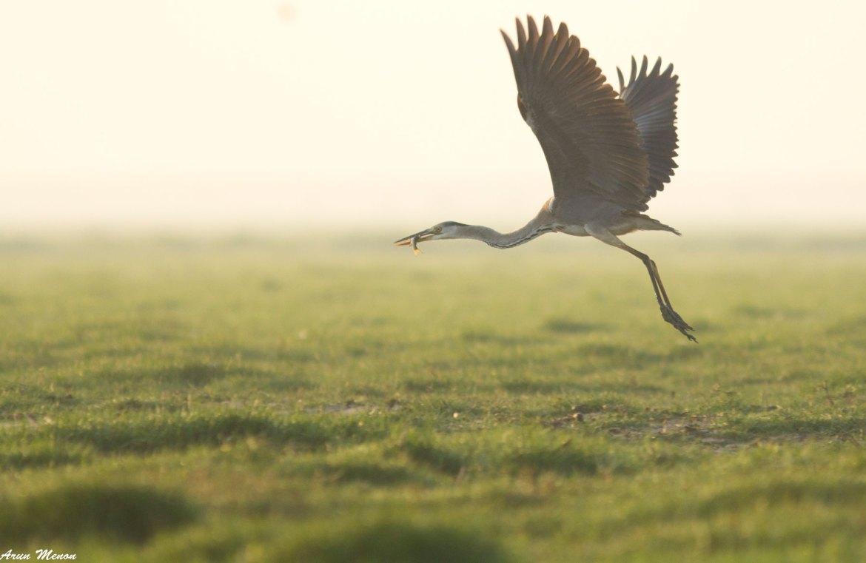 Grey Heron at Mangalajodi