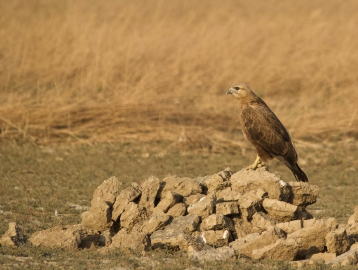 Long Legged Buzzard at Banni, Kutch