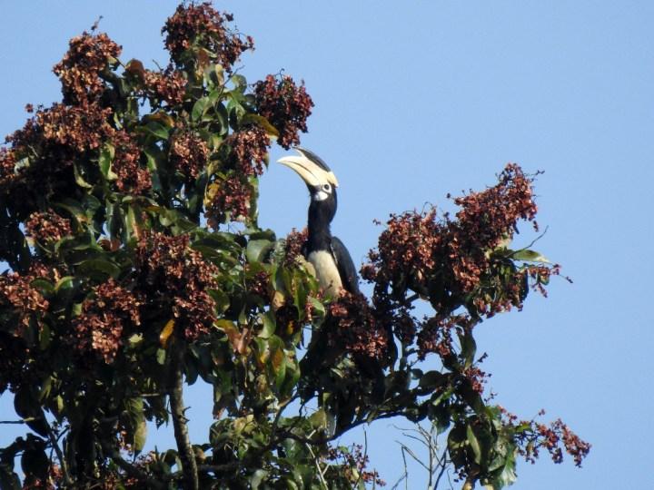 Malabar Pied Hornbill at Dandeli