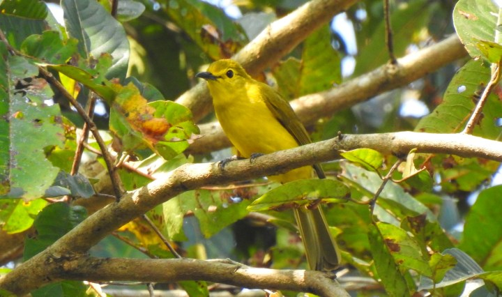 Yellow-browed Bulbul at Dandeli