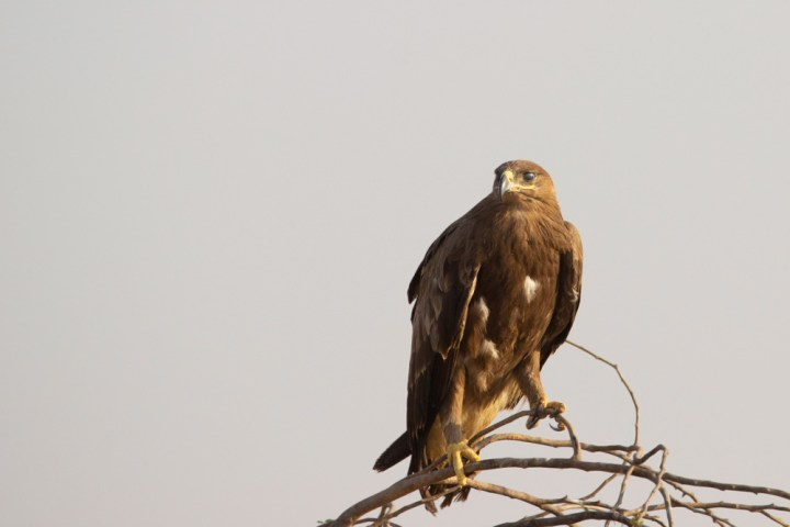 Steppe Eagle in Kutch