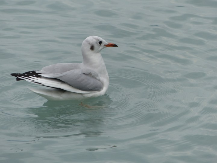Brown-headed gull in Lake Brienz