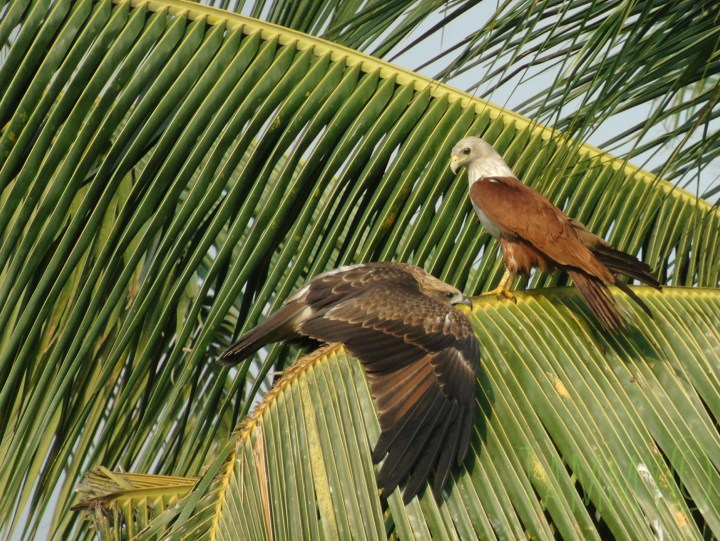At Doddanekundi Lake, Black Kite and Brahminy Kite
