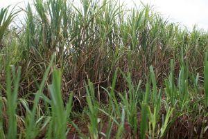 sugarcane_JEL88_25013
