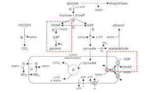 Yeast Fermentation Schematic