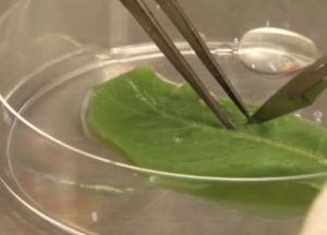 tobacco-leaves-biofuel