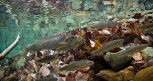 Climate Change Threatens Cutthroat Trout in Montana, and the Tourism they Generate