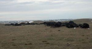 Climate Change - Responsible for 30,000 Dead Livestock in the Dakotas?