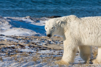 The Polar Bear is Us, Say Climate Change Scientists