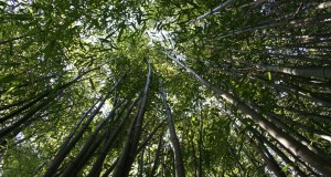 Renewable Bamboo Could Improve Vehicle Fuel Economy