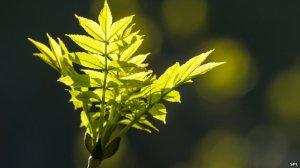 _78197136_c0215477-new_growth_on_an_ash_tree-spl