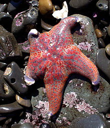 Dying leather starfish from Wikipedia