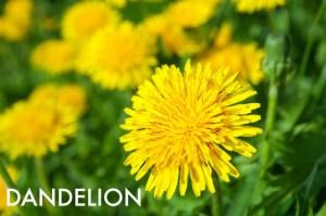 Dandelion-537x357