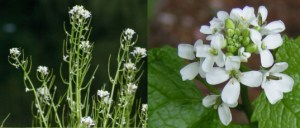 Garlic-Mustard-Foraging-537x229