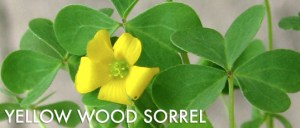 Yellow-Wood-Sorrel-Foraging-537x229