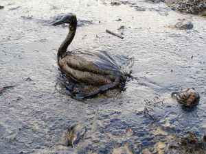Oiled Bird at Black Sea oil spill Image: Wikipedia