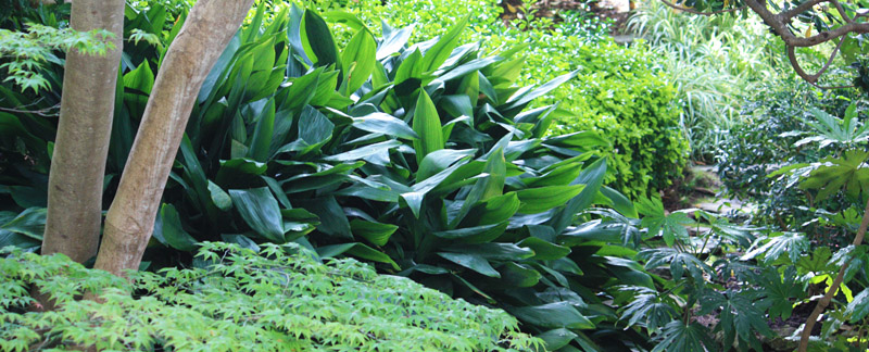 Green Parrot Gardens | About | Aspidistra