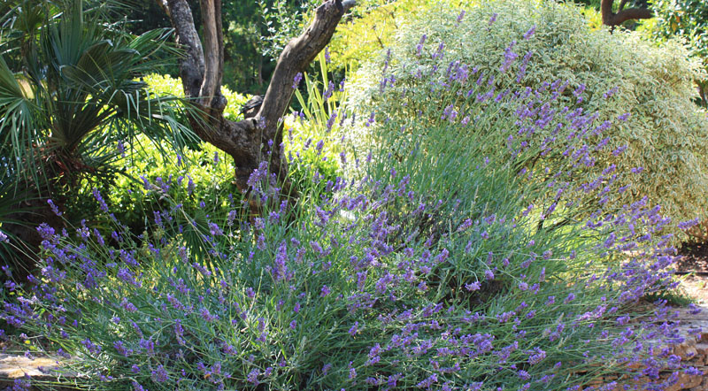 Green Parrot Gardens | Landscape & Garden Design | Lush Lavender after heavy renovation in a garden near St. Tropez