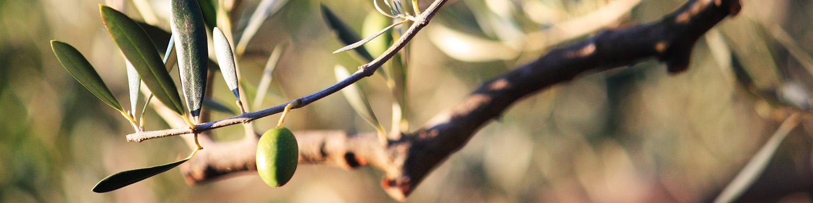 Green Parrot Gardens | Ask the Garden Consultants | Pruned Olive